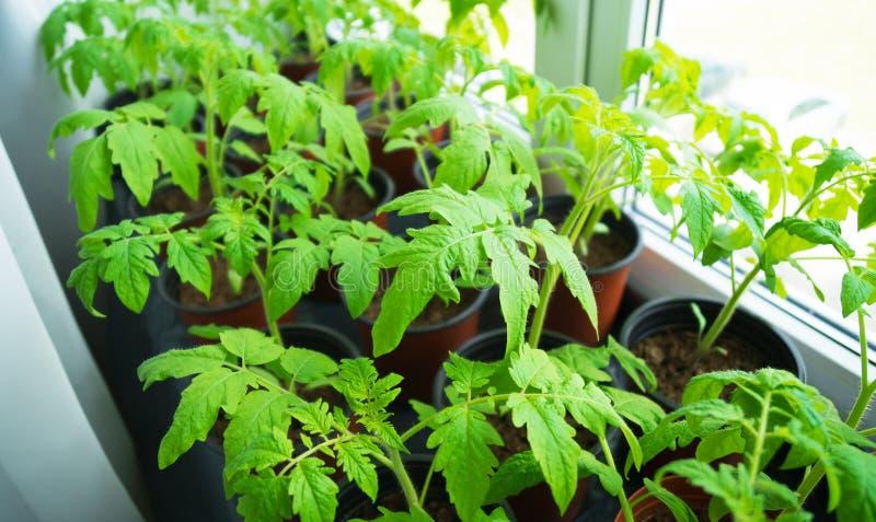 Giovani piante di pomodori immagini stock libere da diritti