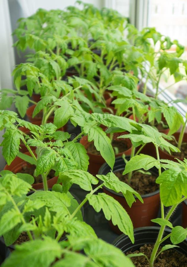 Giovani piante di pomodori immagine stock libera da diritti