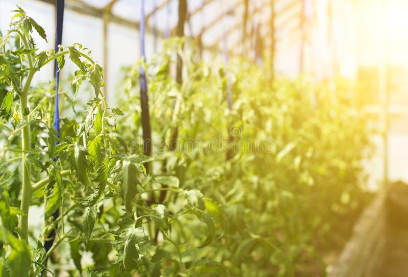Giovani piante di pomodori fotografia stock libera da diritti