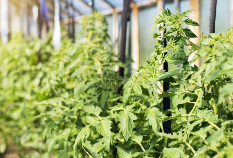 Giovani piante di pomodori immagine stock