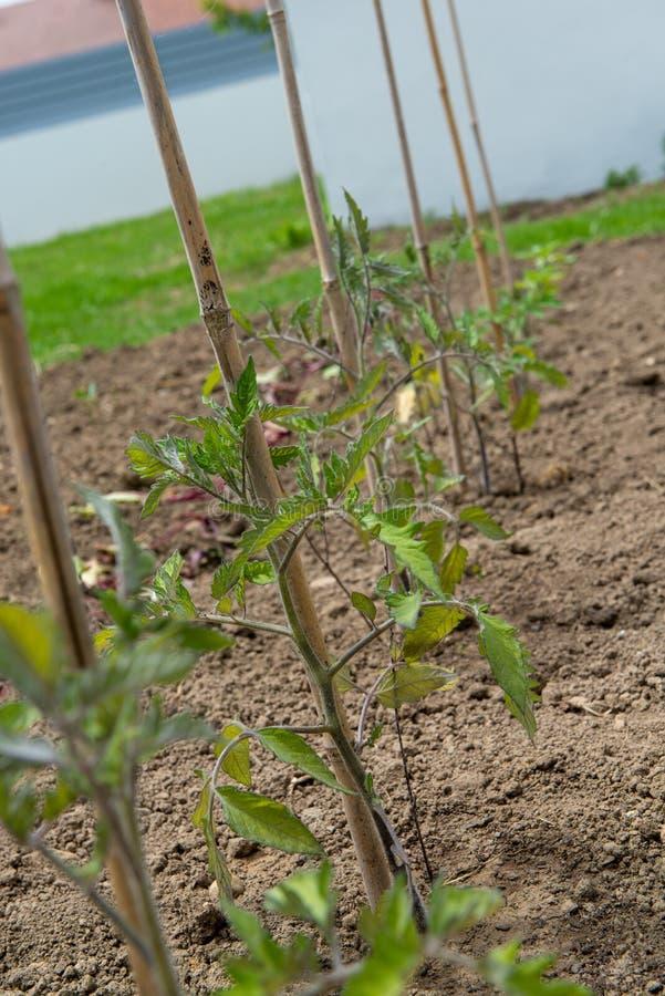 Giovani piante di pomodori nel giardino fotografie stock