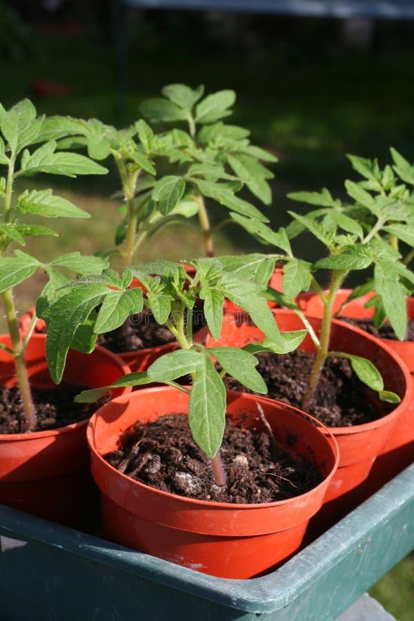 Giovani piante di pomodori in POT. immagine stock libera da diritti