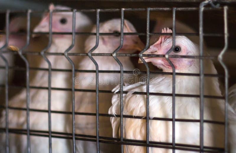 Giovani polli da carne che si siedono in una gabbia su un'azienda agricola di pollo, primo piano, animali giovani fotografia stock libera da diritti