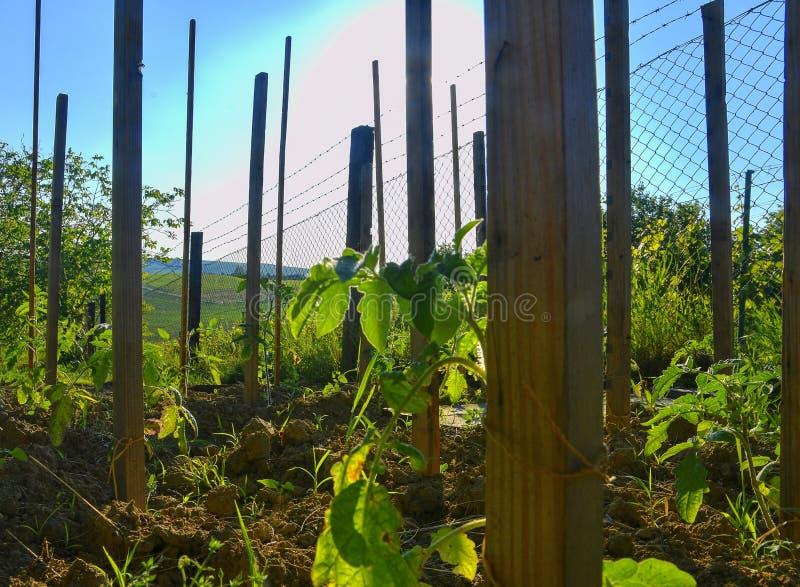 Giovani pomodori in giardino rurale Concetto di giardinaggio fotografia stock