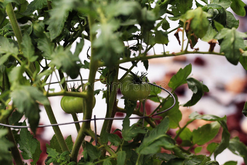 Giovani pomodori sulla vite immagine stock