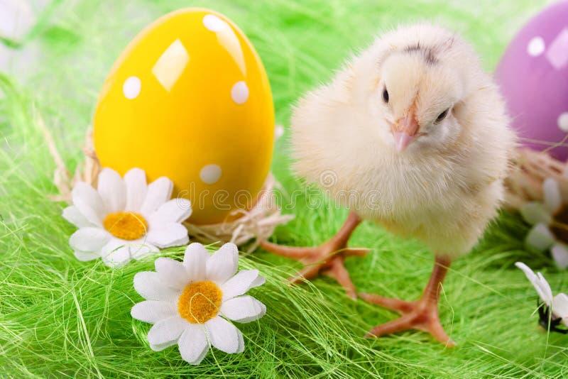 Giovani pulcino ed uova fotografia stock