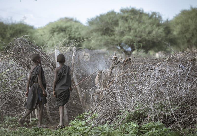 Giovani ragazzi di maasai che radunano le mucche immagini stock