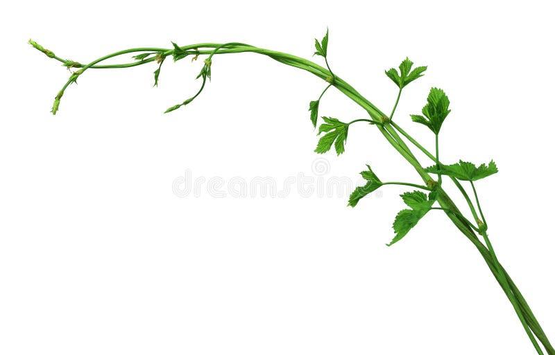 Giovani rami del luppolo con le foglie ed i germogli Isolato immagini stock
