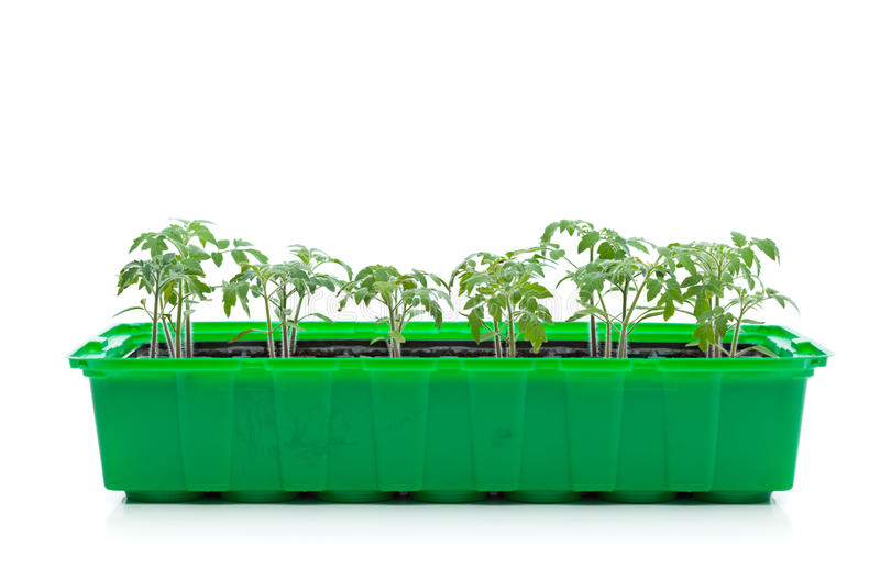 Giovani semenzali della sorgente - germogli del pomodoro fotografie stock