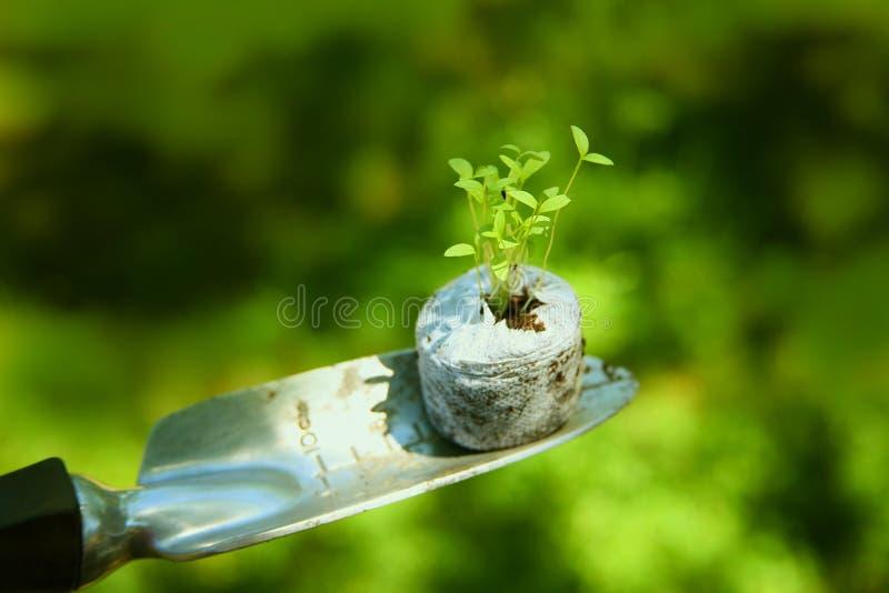Giovani semenzali germogliati fotografie stock