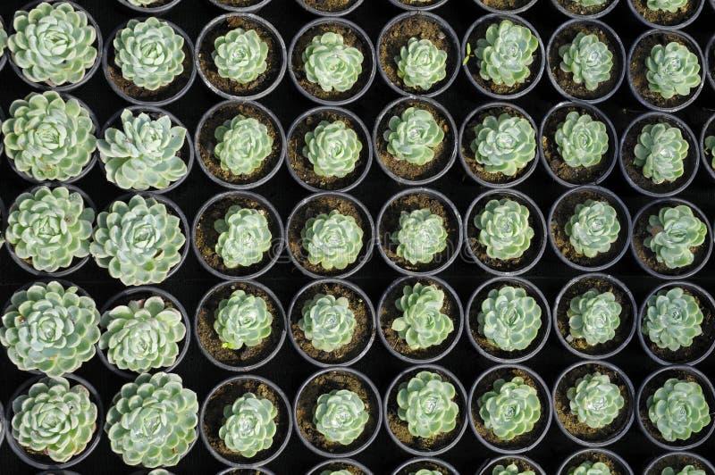 Giovani succulents immagine stock