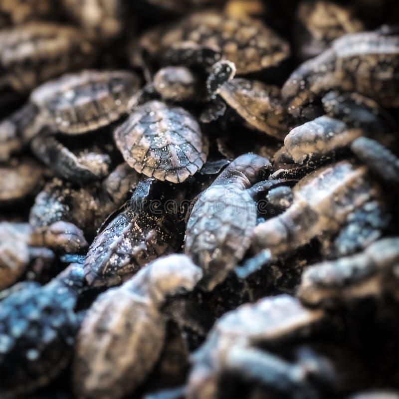Giovani tartarughe marine fotografie stock