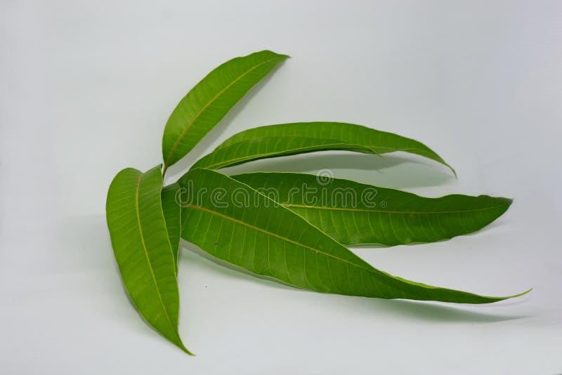 Giovani tiri della foglia del mango fotografati su un backgroun bianco fotografia stock
