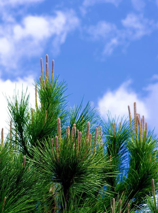 Giovani tiri di Cedar Tree immagini stock libere da diritti