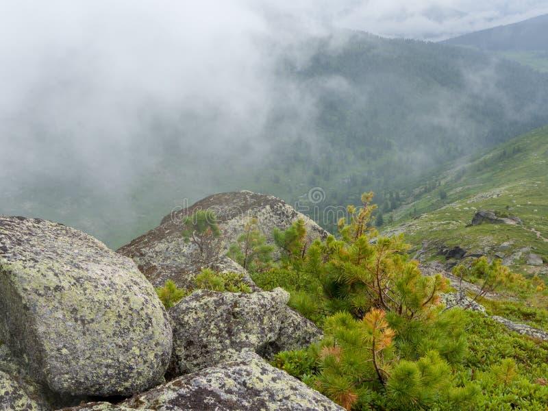 Giovani tiri di cedro fra le rocce alla cima della montagna fotografia stock libera da diritti