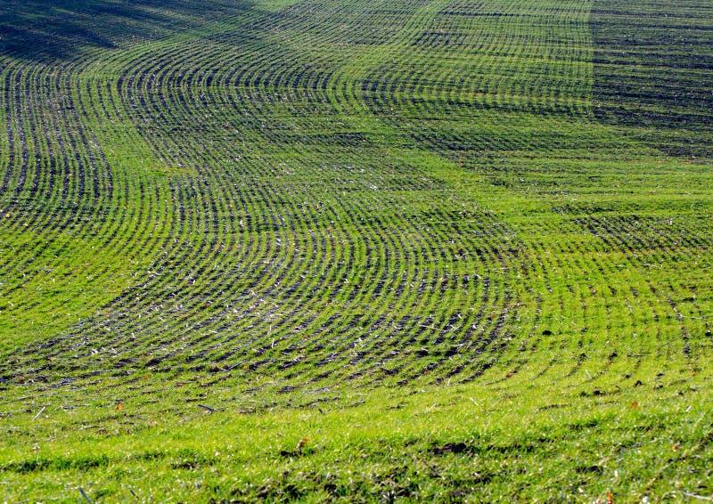 Giovani tiri verdi del frumento autunnale su un campo di autunno un giorno soleggiato, paesaggio rurale fotografie stock