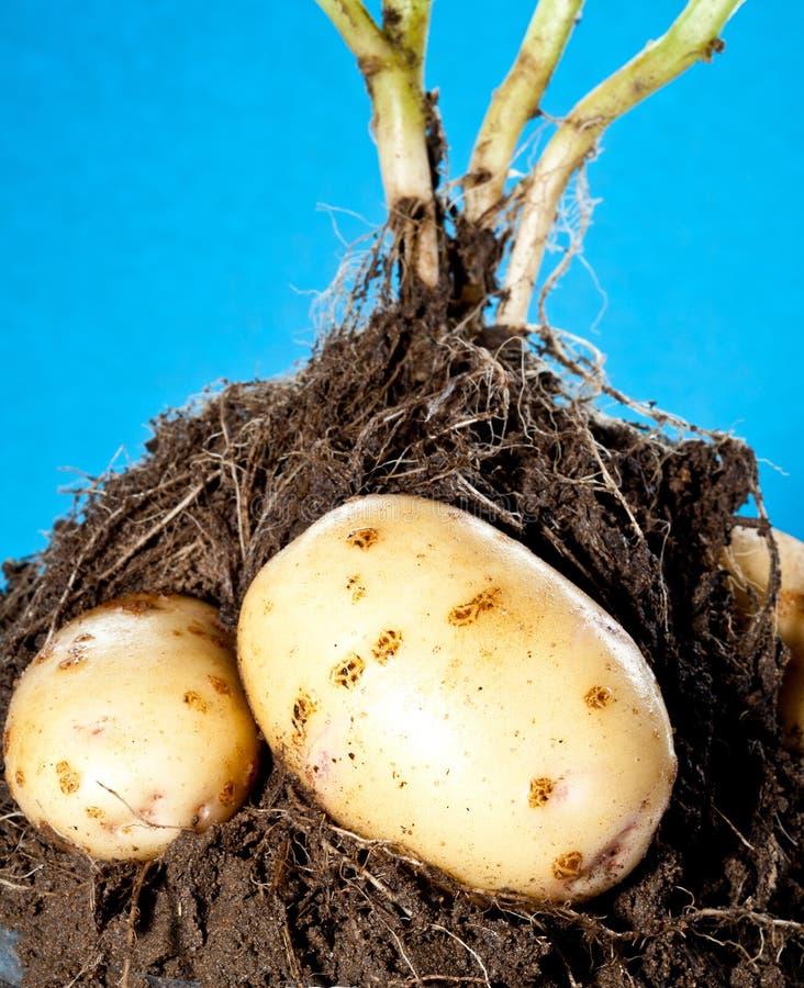 Giovani tuberi della patata in terreno fotografia stock libera da diritti