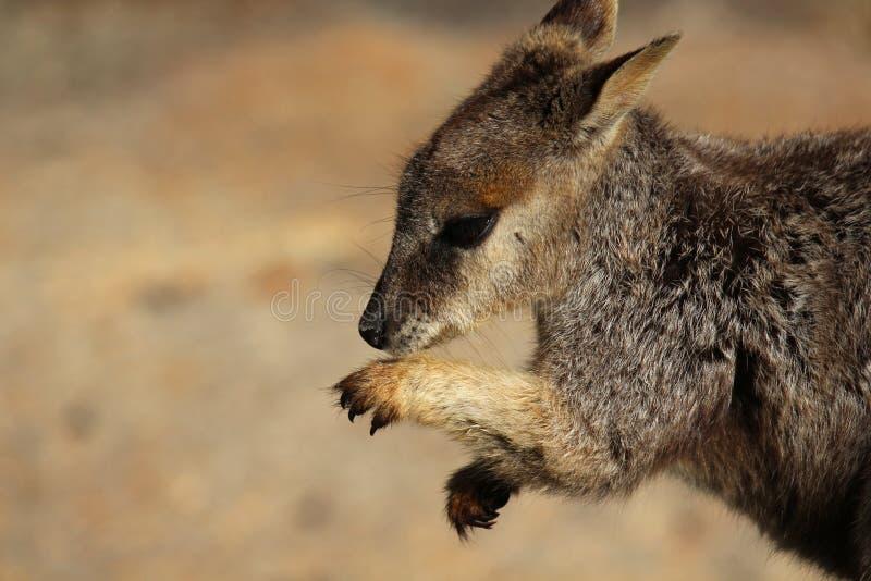 Giovani zampe governare del roccia-wallaby fotografia stock