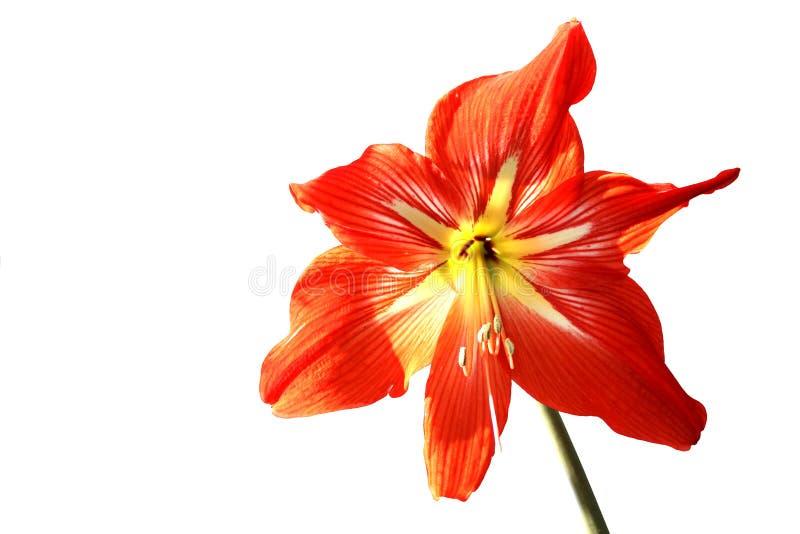 Gippeastrum, Mutter ` s Tag, Flora, Blume, Rot, Geschenk, Feiertag, romantisch, frisch, Blüte, floristry, Natur, Weiß, leer, Raum lizenzfreie stockfotos