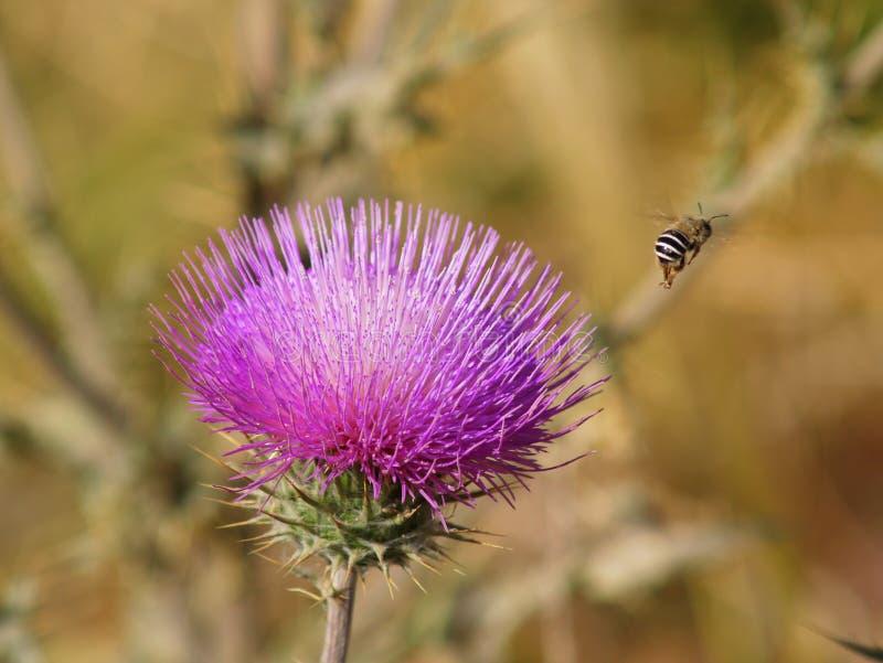 Gipsiarza pszczoła Paskujący półdupek i Purpurowy osetu kwiat fotografia royalty free