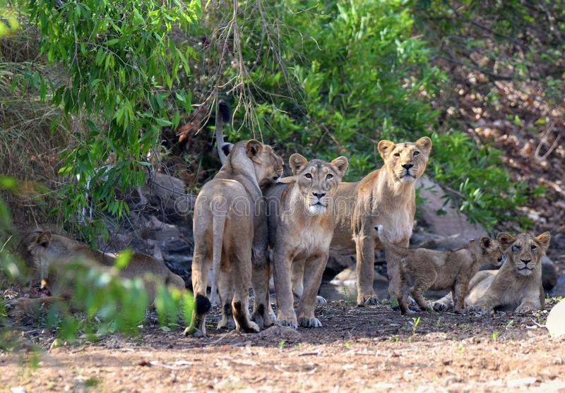 Gir lions. Lions at gir jungle royalty free stock photos