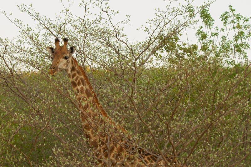 Giraf στην Αφρική στοκ φωτογραφία με δικαίωμα ελεύθερης χρήσης