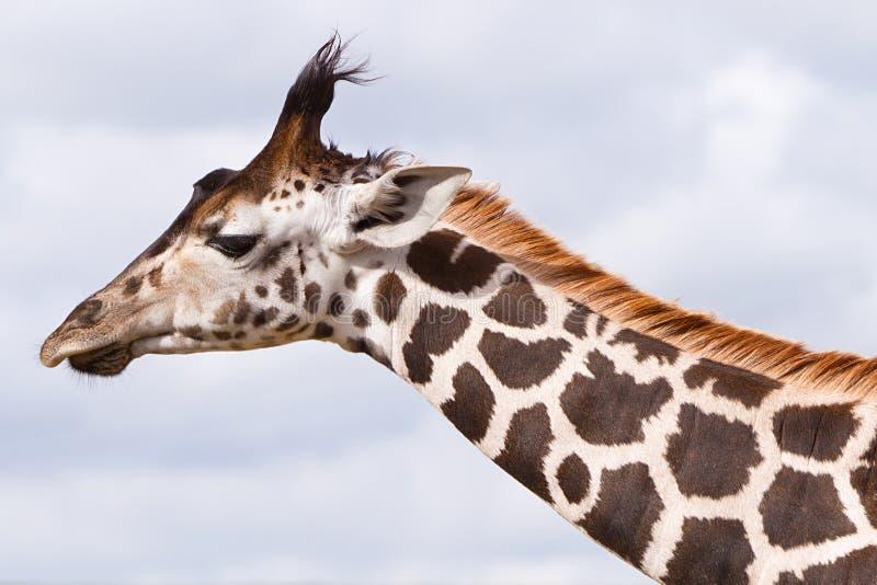 Giraf. Stock Foto's