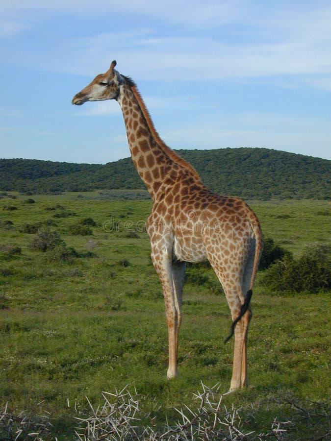 Download Giraf stock foto. Afbeelding bestaande uit dier, wildlife - 32888