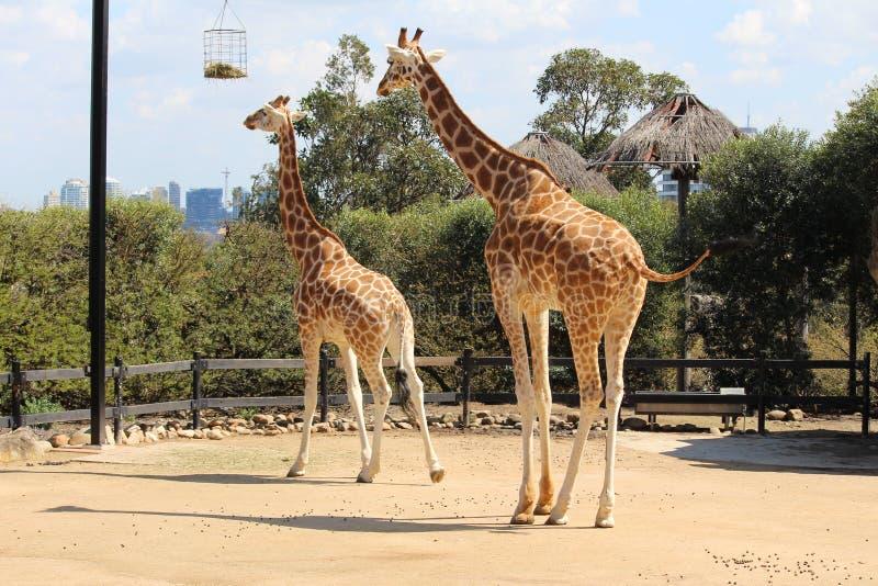 2 giraf royalty-vrije stock afbeeldingen