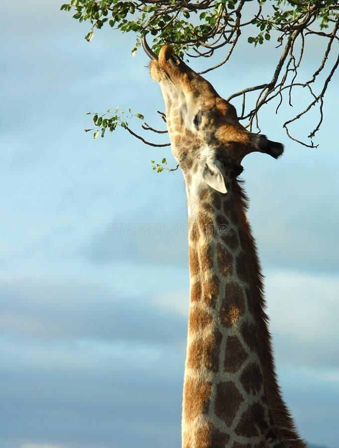 Giraf in Afrika stock afbeelding