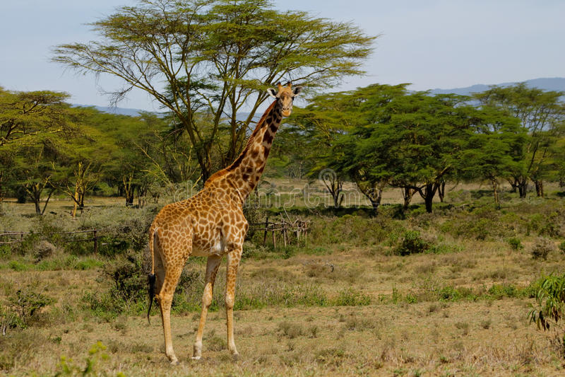 Giraf in Afrika stock fotografie