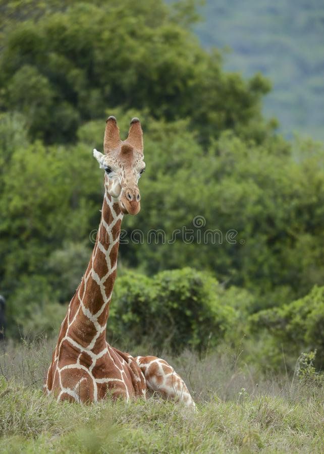 Giraf bij Aberdare-de Club Kenia van het land royalty-vrije stock afbeeldingen