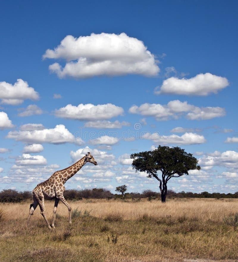 Giraf - Botswana stock afbeeldingen