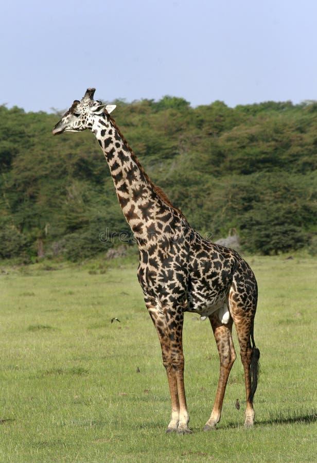 Giraf (camelopardalis Giraffa) stock afbeeldingen
