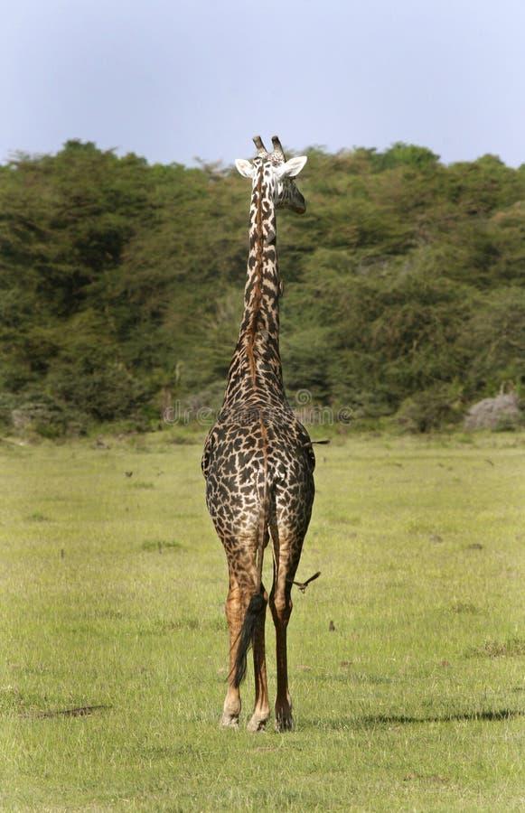 Giraf (camelopardalis Giraffa) stock fotografie
