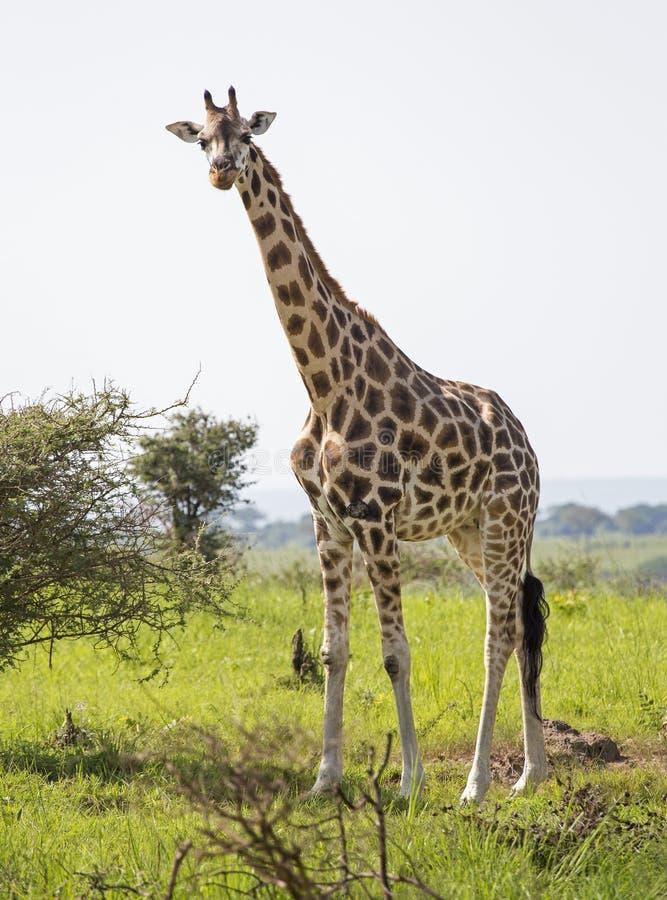 Giraf in de savanne royalty-vrije stock fotografie