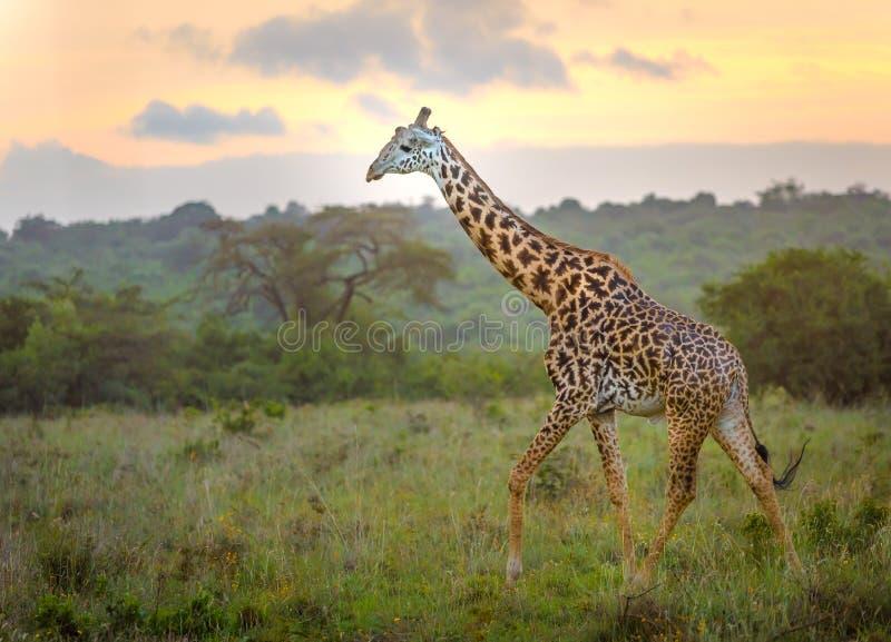 Giraf in de stad van Nairobi de hoofdstad van Kenia stock afbeeldingen