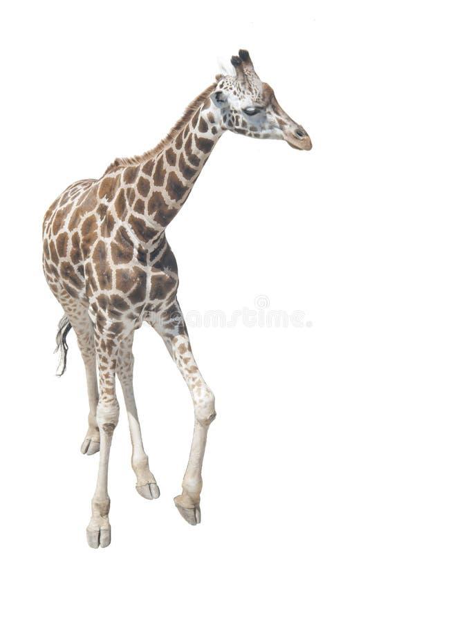Giraf in de volledige groei op een witte achtergrond royalty-vrije stock foto's