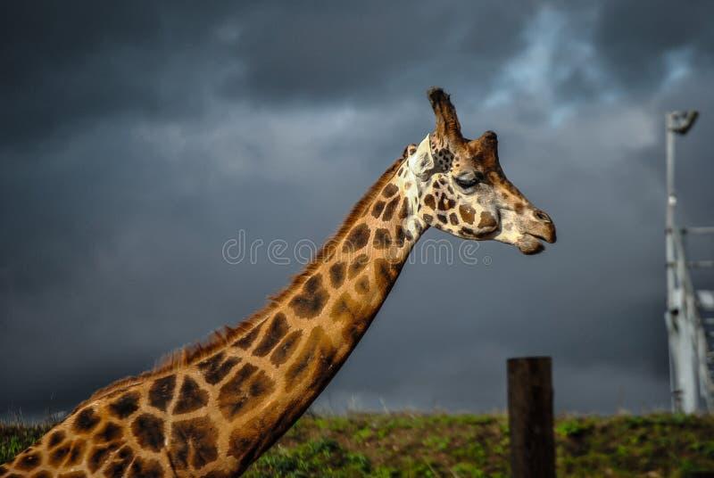 Giraf dichte omhooggaand met regenwolken royalty-vrije stock foto