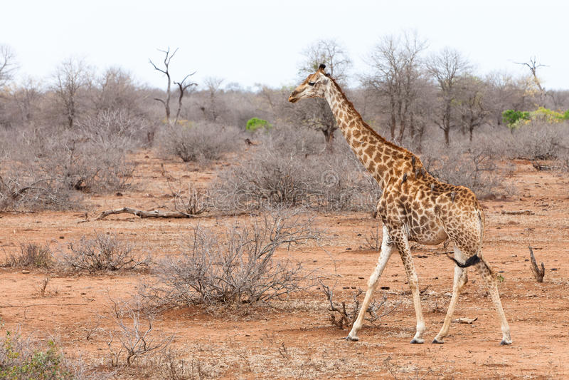 Een Gek Dier De Giraf: Giraf Die Door Een Afrikaans Landschap Loopt Stock Foto