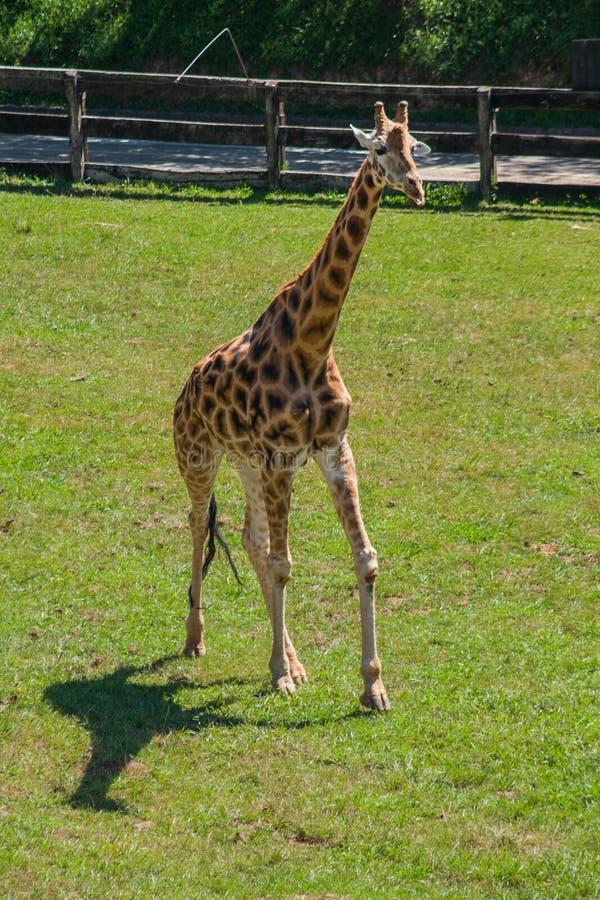 Giraf die een hete dag in werking stellen stock afbeeldingen