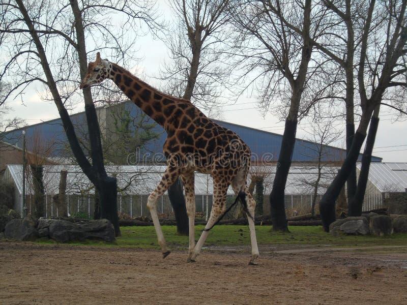 Giraf die lopen royalty-vrije stock fotografie
