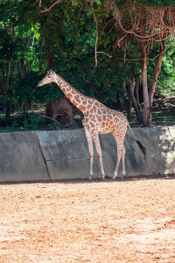 Giraf die op het voeden wachten stock foto's