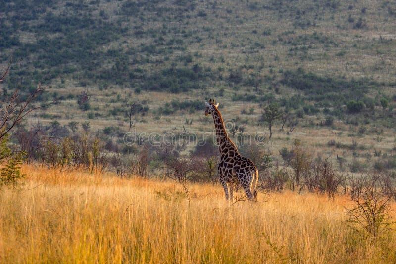 Giraf die zich in het lange gras bevinden royalty-vrije stock foto's