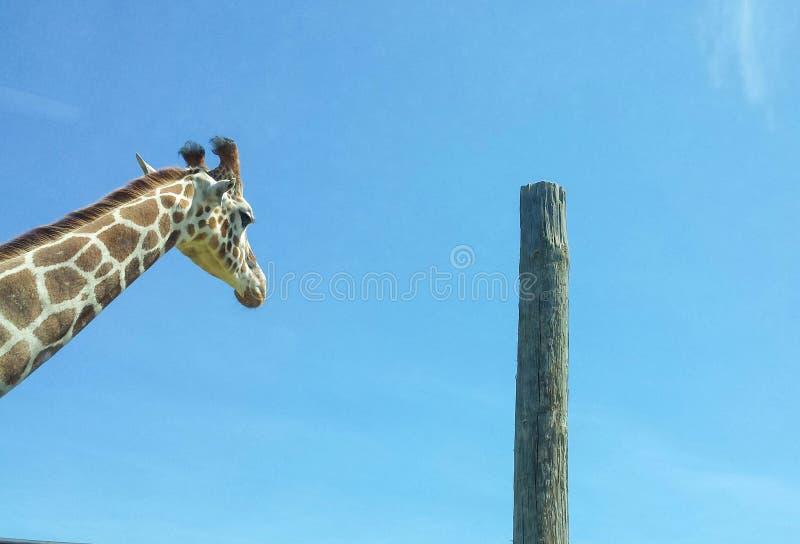 Giraf die zich lang bevinden stock afbeelding