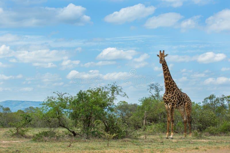 Giraf die zich met blauwe hemel Zuid-Afrika bevinden royalty-vrije stock afbeeldingen