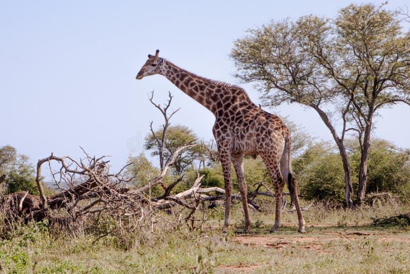 Giraf die zich naast een boom bevinden stock fotografie