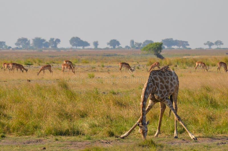 Giraf die zich neer uitrekken stock fotografie