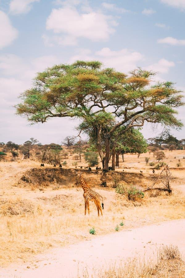 Giraf die zich voor boom in grasvlaktes bevinden royalty-vrije stock afbeelding
