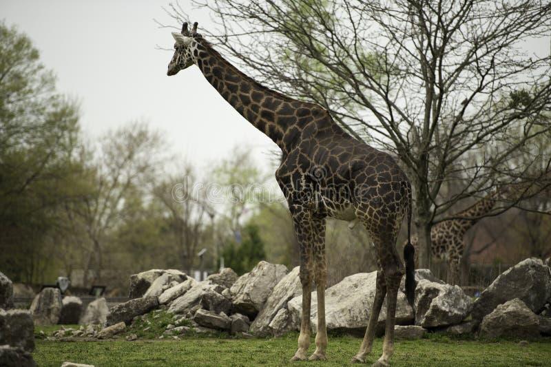 Giraf in dierentuin stock foto